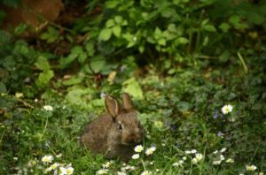 brown-rabbit-in-front-of-white-daisies