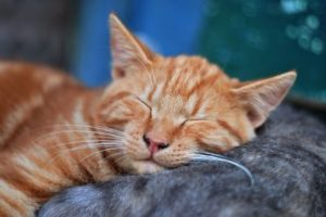 sleeping-yellow-cat