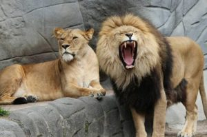 male-and-female-lions